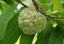 health Benefit of Custard Apple