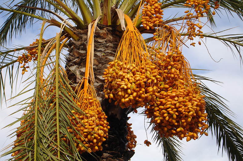 Nutritive Value for Date palm